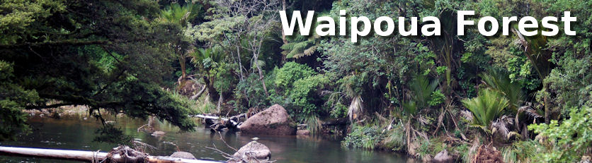 Waipoua Forest Sanctuary - mighty kauri - nocturnal kiwi - rainforest